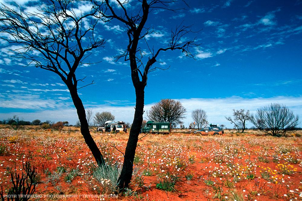 Australia, kwitnąca Pustynia Gibsona